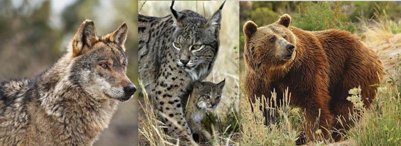 Lobo, lince y oso