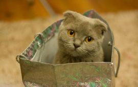 Expresiones faciales en los gatos branquicefálicos