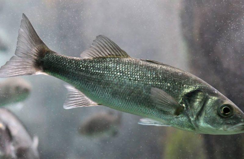 Las olas de calor marinas provocan cambios en la expresión génica de los peces