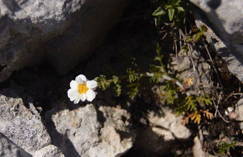 Descubierta una nueva planta en las sierras calizas de Burgos, Álava y La Rioja