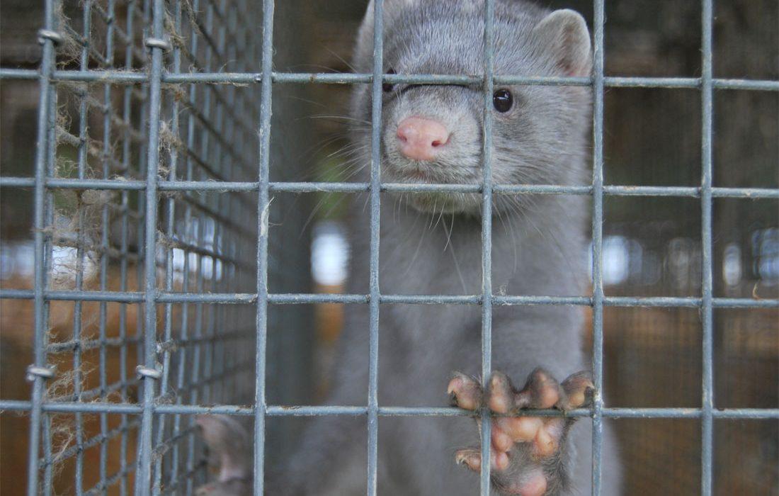 Nuevo caso de Sars-Cov-2 en una granja de visones de Carral (Galicia)
