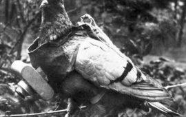 Cher Ami, la paloma salvadora de un batallón en la Primera Guerra Mundial