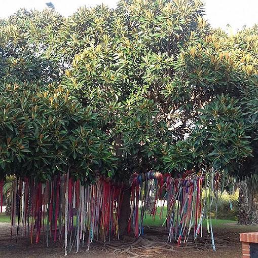 Ficus con cintas