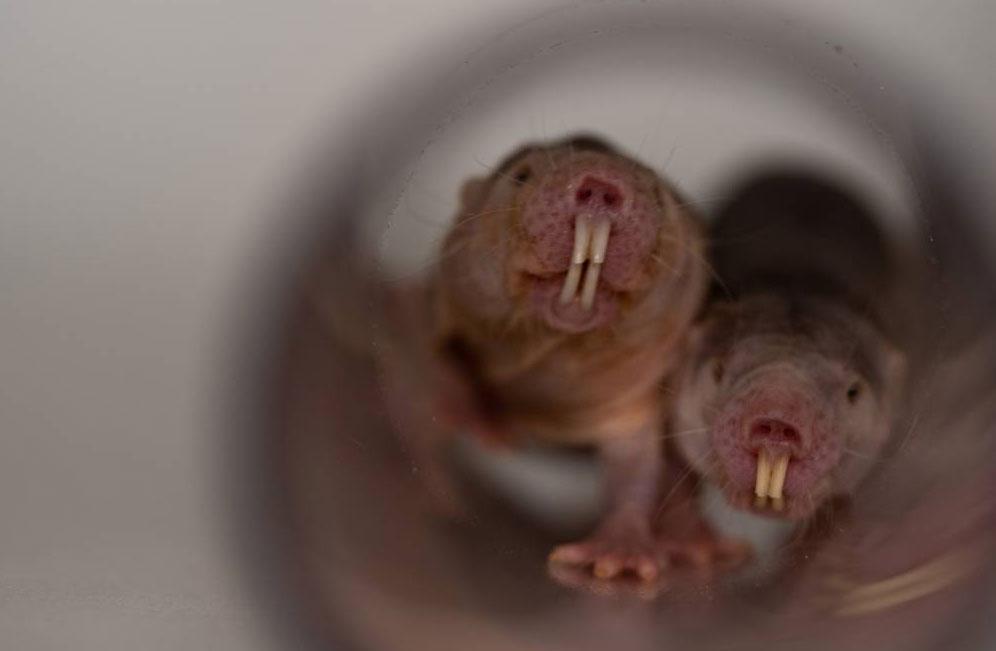 Ratopín rasurado, Heterocephalus glaber, rata topo lampiña