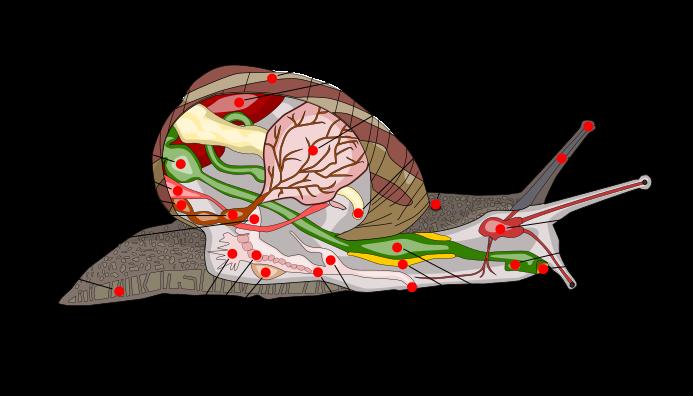 Anatomía de caracoles