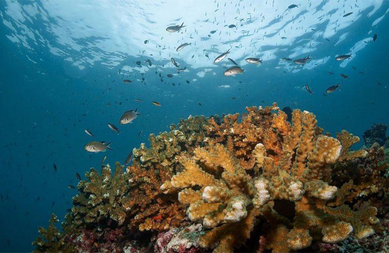 ¿Los corales del Pacífico Oriental son supervivientes del cambio climático?