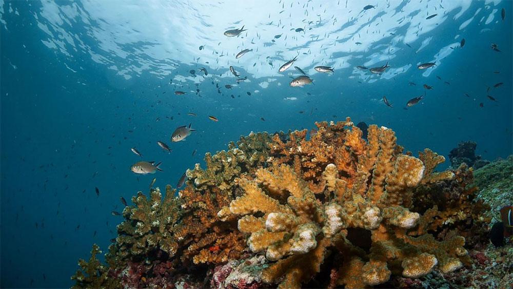 Coral Pocillopora