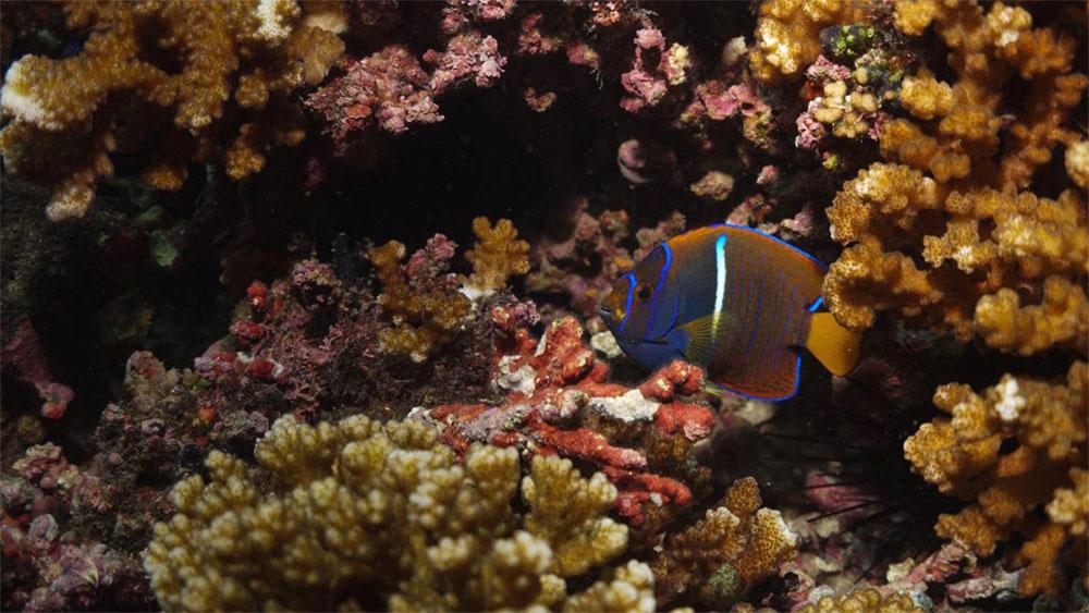 Corales Pocillopora damicornis