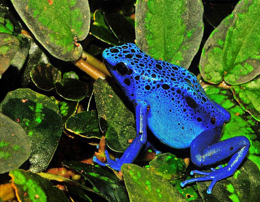 Dendrobates azureus - Los mejores padres del reino animal