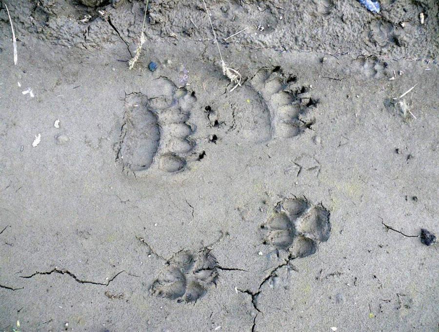 Huella lobo mongolia