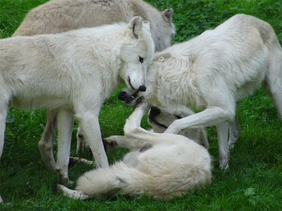 Lobos - Los mejores padres en los animales