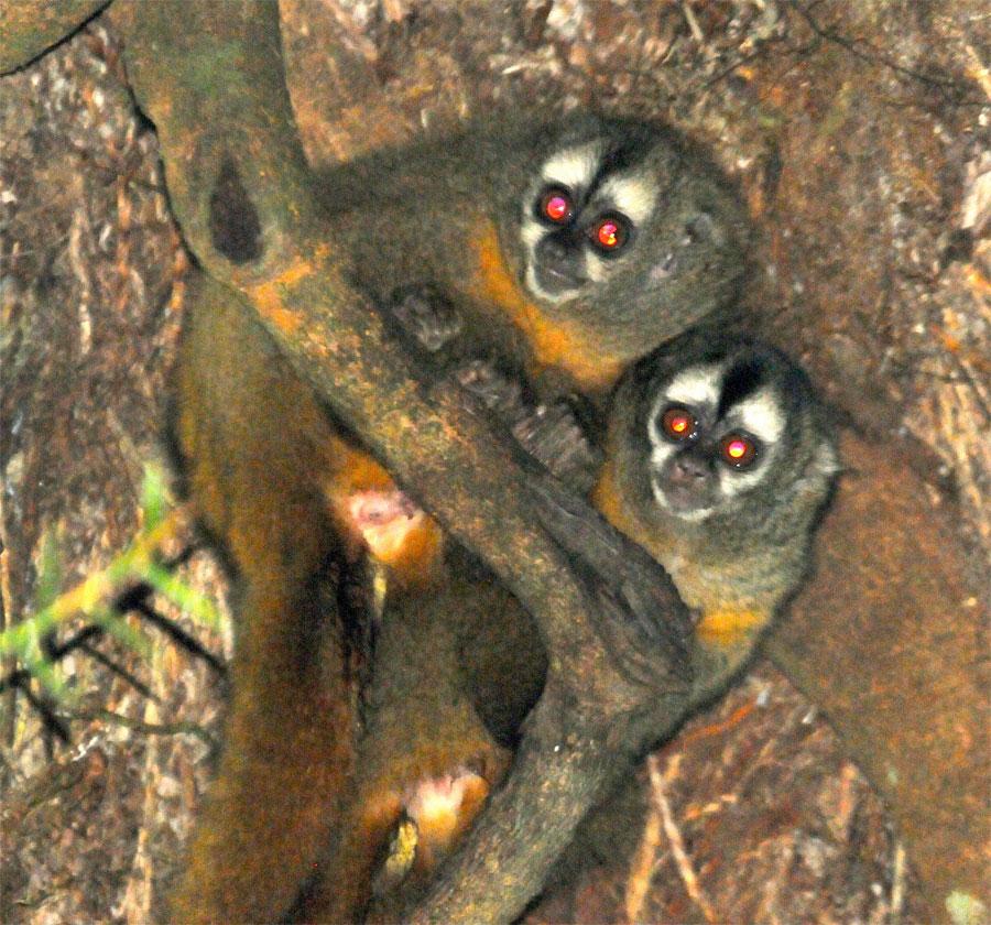 Mono búho - los mejores padres del mundo animal