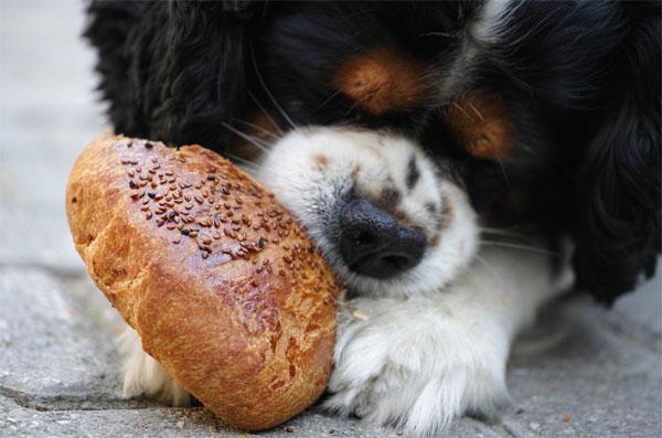 Perro comiendo bollo