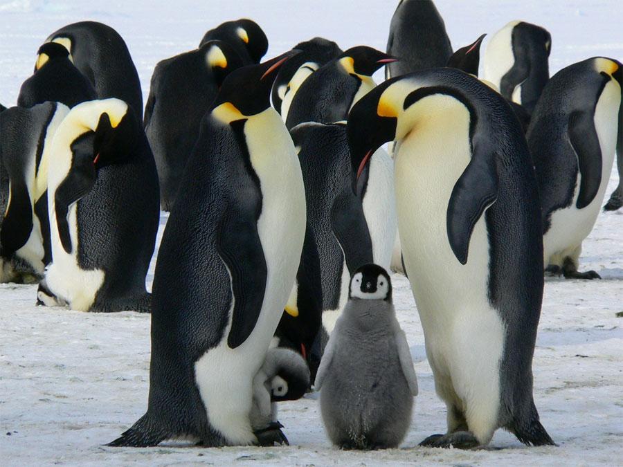 Pinguino emperador - Los mejores padres del reino animal