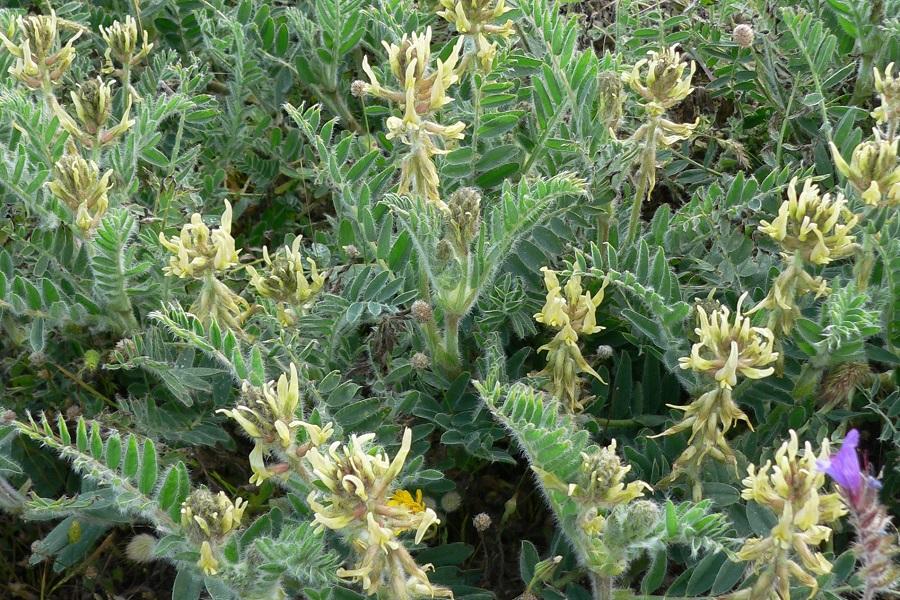 Astragalus nitidiflorus (Garbancillo de Tallante)