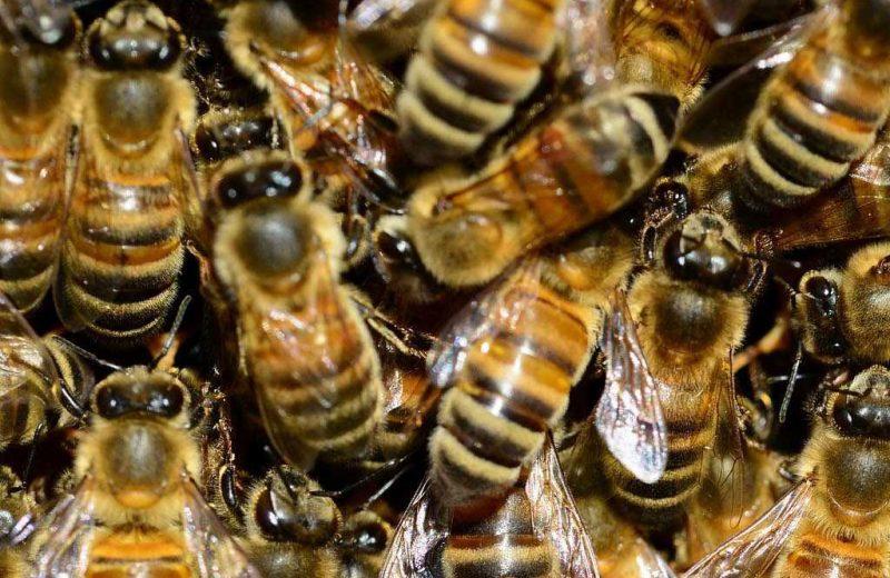 Detectan microplásticos en el cuerpo de las abejas