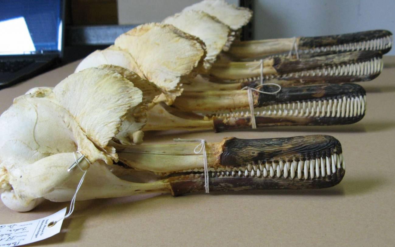 Cráneos de delfines