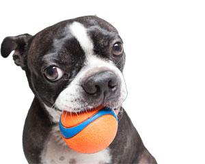 Boston terrier con pelota