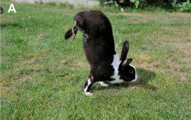 Sauteur d'Alfort, los conejos que se mueven sobre dos patas