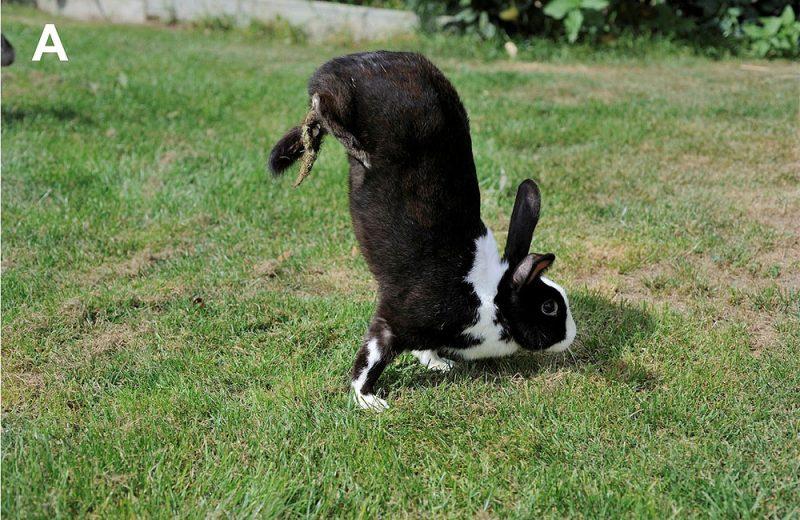 conejo Sauteur d'Alfort