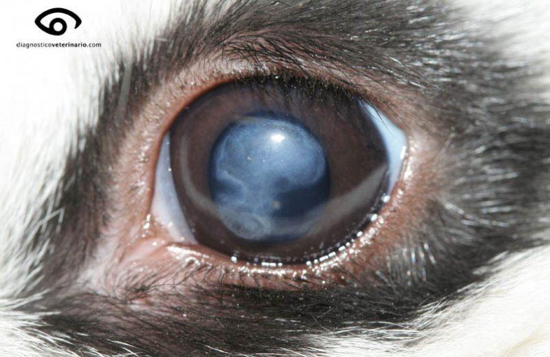 Distrofia cornea conejo