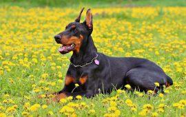 Más de 100.000 perros dejarán de considerarse 'potencialmente peligrosos' con el cambio de legislación, según la RSCE