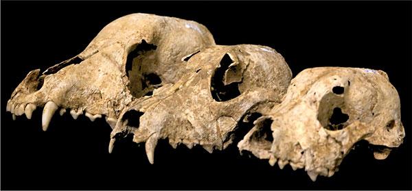 Fósiles de perros