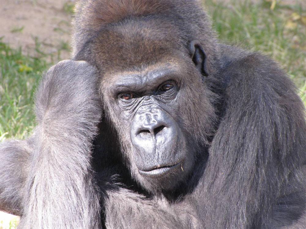 Gorila occidental