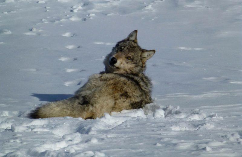 El cambio en la dieta permitió que los lobos grises sobrevivieran en la era glaciar