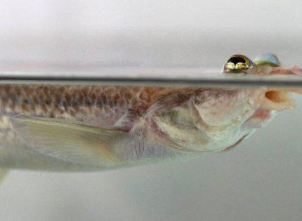 Por qué los peces de cuatro ojos tienen genitales asimétricos