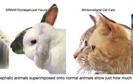 Animales branquicefalicos, el horror de la selección por humanos