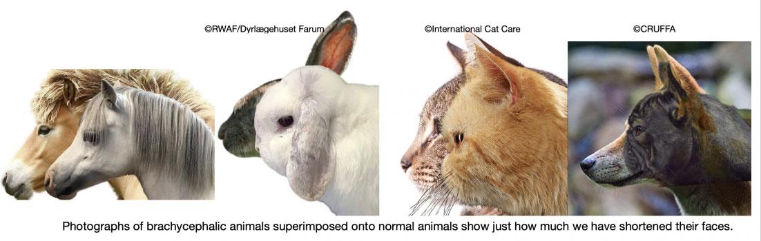 Animales branquicefálicos
