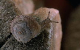 Revelada la estructura genética de un caracol endémico de Cataluña y amenazado