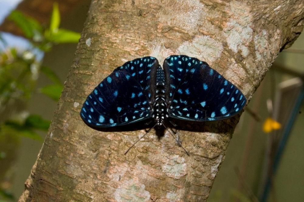 Mariposa de la especie Hamadryas