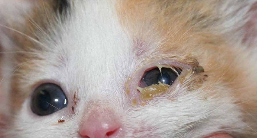 Conjuntivitis en gatitos