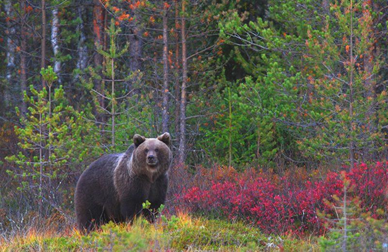 Los osos pardos usan marcas en los árboles para comunicarse