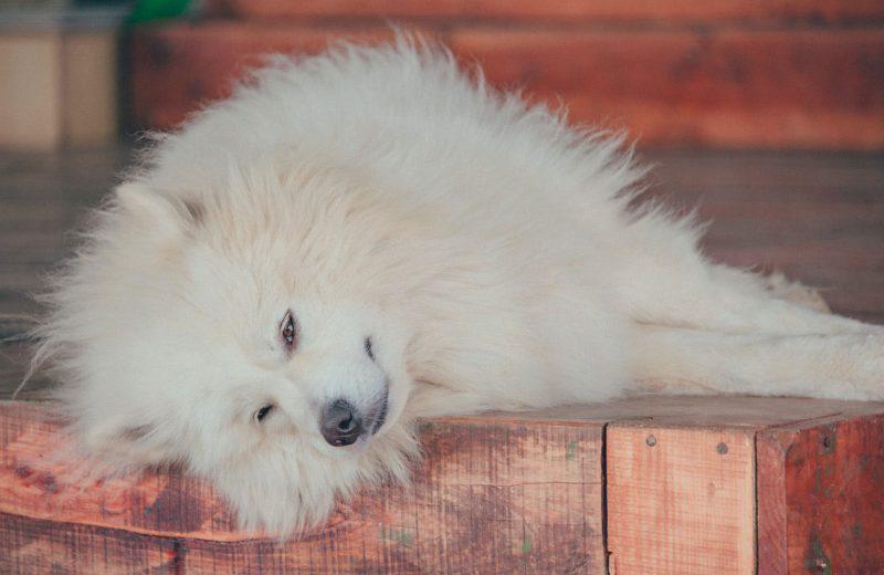Perro tumbado