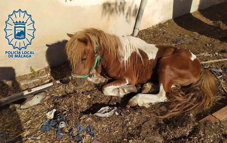 Investigado el propietario de un poni y varios animales más en Málaga por maltrato animal