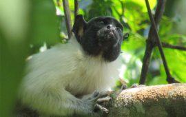 """Los primates cambian su """"acento"""" para evitar conflictos"""