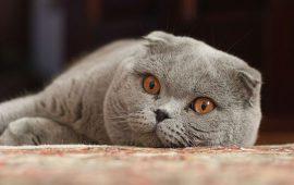 Bélgica prohibe el comercio y la cría de gatos con las orejas plegadas