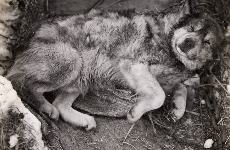 Las primeras expediciones antárticas malnutrían a sus perros de trineo