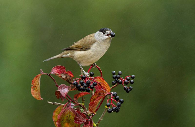 Las aves migratorias dispersan las plantas en la mala dirección con el cambio climático