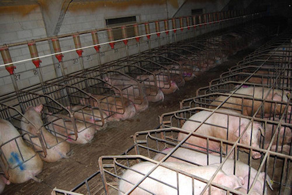 Jaulas para cerdos