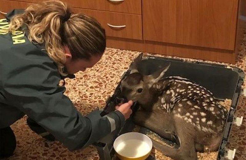La Guardia Civil rescata a una cría de cierva en Cañete, Cuenca que iba a ser mantenida como mascota