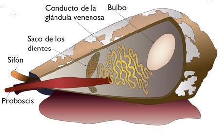 Esquema de la morfología interior de los conos