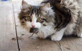 La alimentación en los gatos influye en el comportamiento de caza fuera del hogar