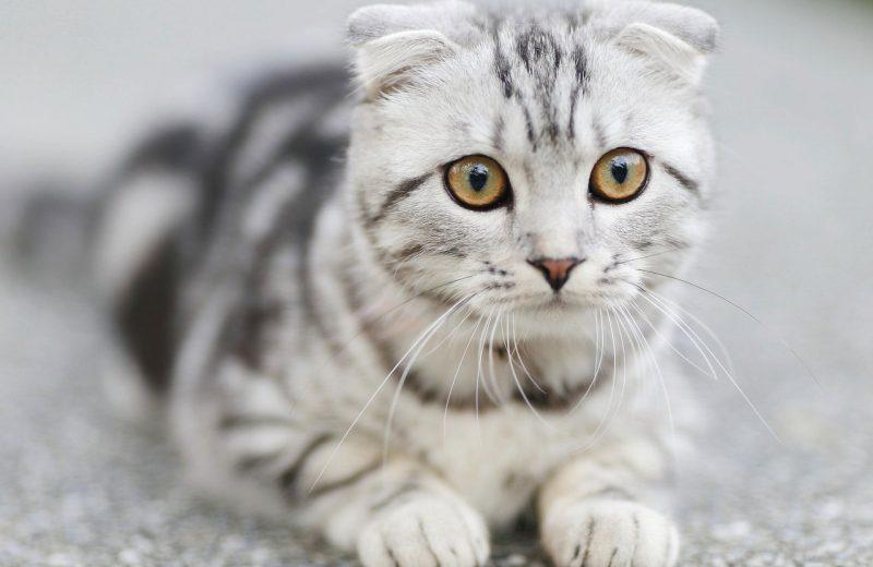 Gato Scotish Fold