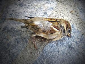 Gorriones muertos pirotecnia