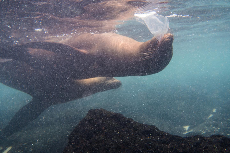 Un león marino jugando con un trozo de plástico