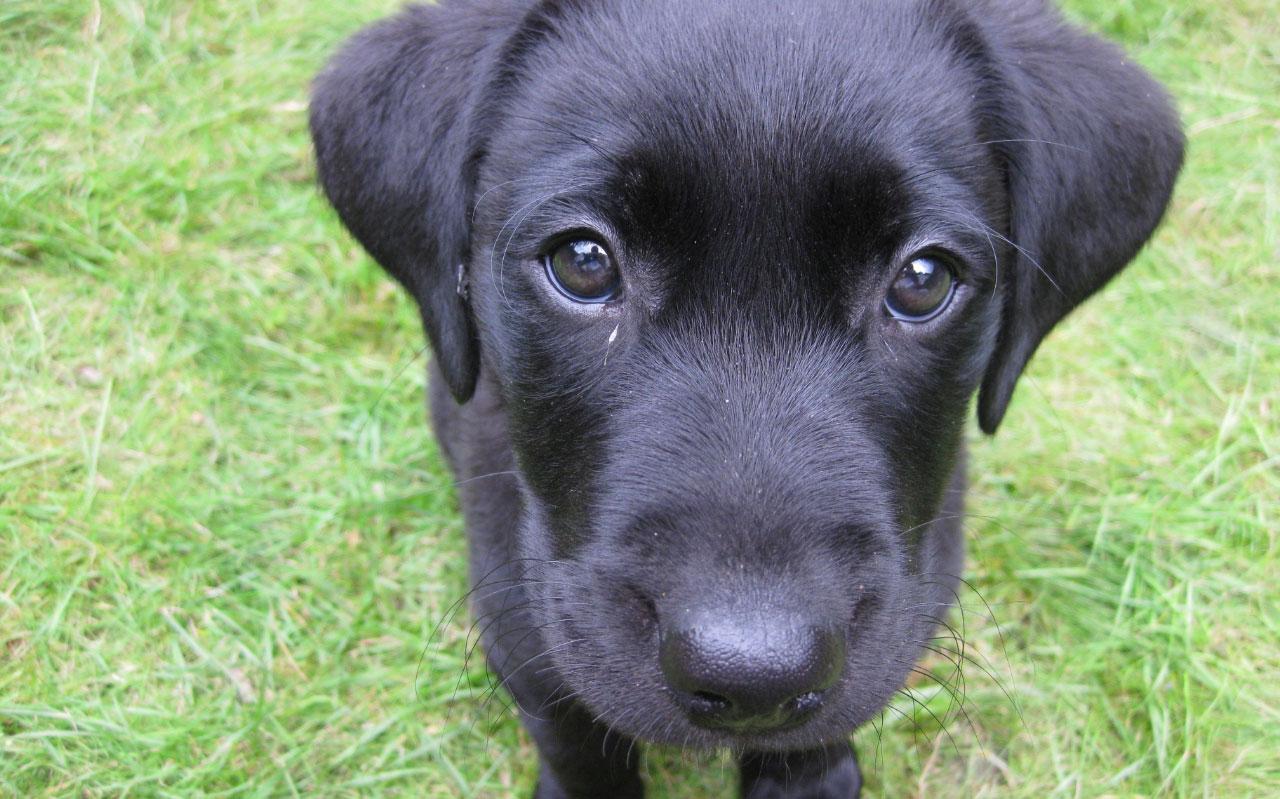 Cachorro labrador - enseñar a un perro a hacer sus necesidades en un solo lugar